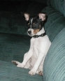 Toy Fox Terrier, 1 year, Tri Color